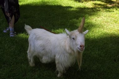 unicorn-goat